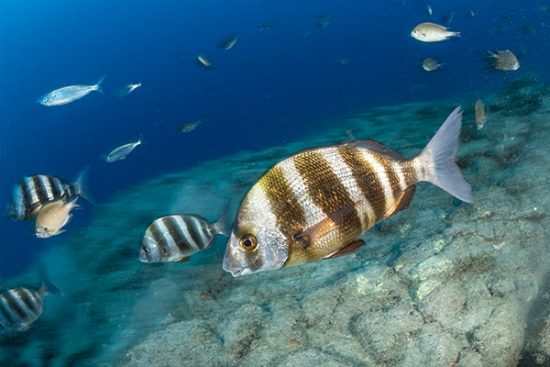 Zebra bream, (Diplodus cervinus), Tenerife island, Canary Islands, Spain, Atlantic Ocean
