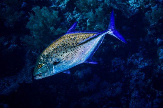 jack fish photo by JK (2) (Large)