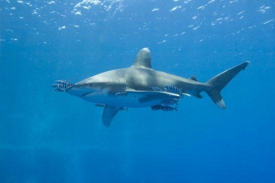 An Oceanic White-tip Shark in the Bahamas