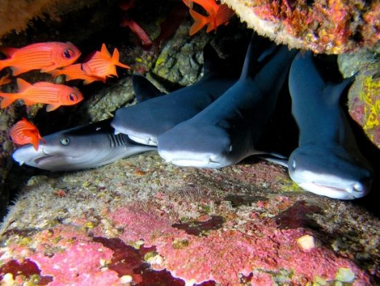 Juvenile White Tip Reef Sharks in Costa Rica