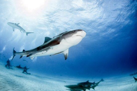 A Tiger Shark at Tigerbeach, Bahamas