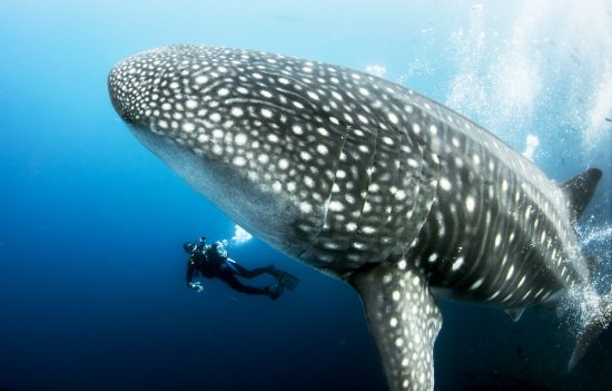 Giant Pregnant Female Whale Shark with scuba diver underwater from the Galapagos Islands (Darwin Island) in Ecuador