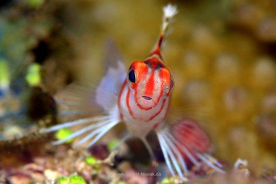 Reef hawk fish - Fiji