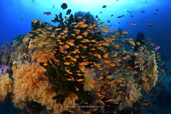 antias at a colorful coral reef at Fiji