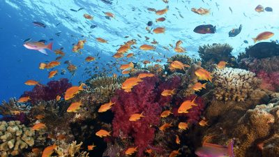 Antias above softcorals at the rainbow reef, Taveuni - Fiji