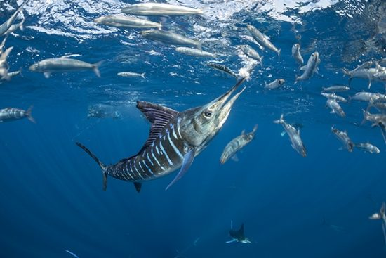 Striped marlin (Tetrapturus audax) feeding onsardine's bait ball (Sardinops sagax), Magdalena Bay, West Coast of Baja California, Pacific Ocean, Mexico