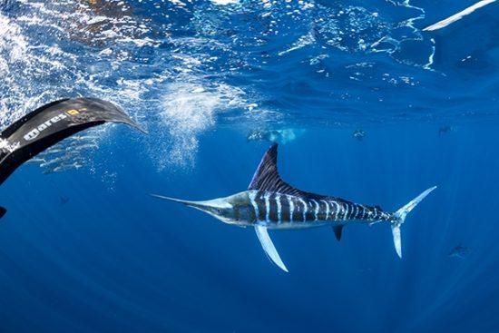 Free diver photographing Striped marlin (Tetrapturus audax) feeding onsardine's bait ball (Sardinops sagax), Magdalena Bay, West Coast of Baja California, Pacific Ocean, Mexico