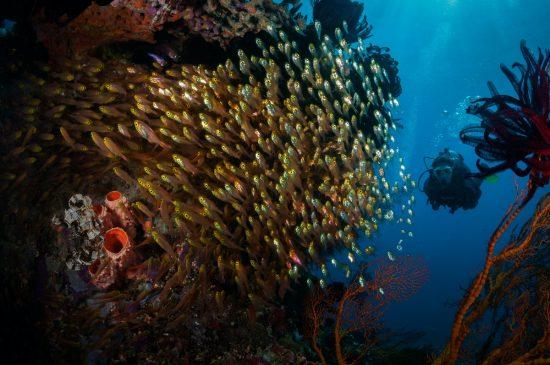 School of glassy cardinalfish (Rhabdamia spilota) watched by diver, Gili Air, Gili Islands, Indonesia