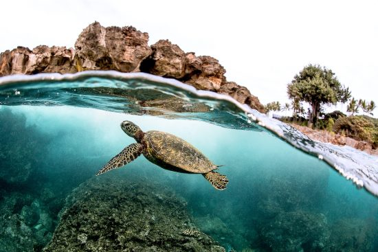 Beautiful Green sea turtle swimming in tropical island reef in hawaii, split over/underwater picture