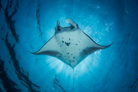 A Manta Ray- Manta alfredi - swims under the sun creating an eclipse. Taken in Komodo National Park, Indonesia.