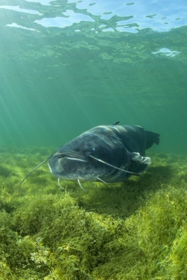 Swimming Wels catfish, Silurus glanis, also called sheatfish, is a large catfish native to wide areas of central, southern, and eastern Europe, Neuchâtel lake, Switzerland