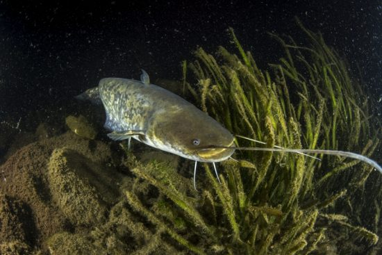 Young catfish, Silurus glanis, also called sheatfish, is a large catfish native to wide areas of central, southern, and eastern Europe, lake Como also known as Lario, Italy
