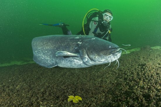 Wels catfish, Silurus glanis, also called sheatfish, is a large catfish native to wide areas of central, southern, and eastern Europe, Aare or Aar river, Switzerland