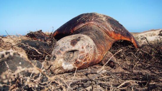 Dead Turtle (2)