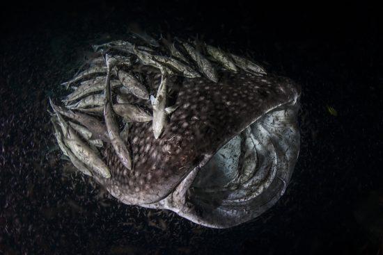 01 Whale Sharks, photo Janez Kranjc