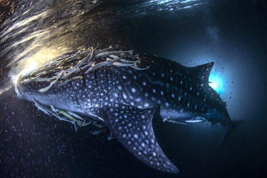 03 Whale Sharks, photo Janez Kranjc
