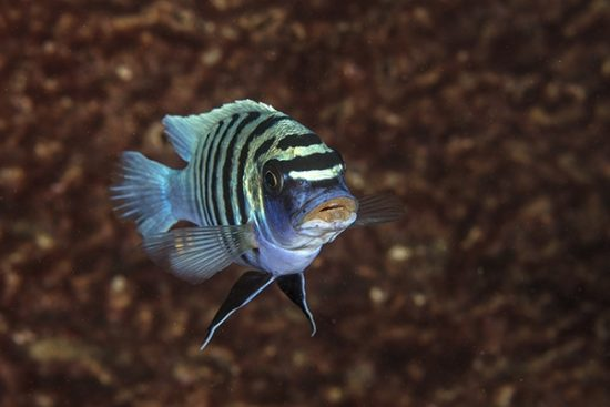 African Cichlid  Malawi Lake is the ninth largest lake in the world, East Africa