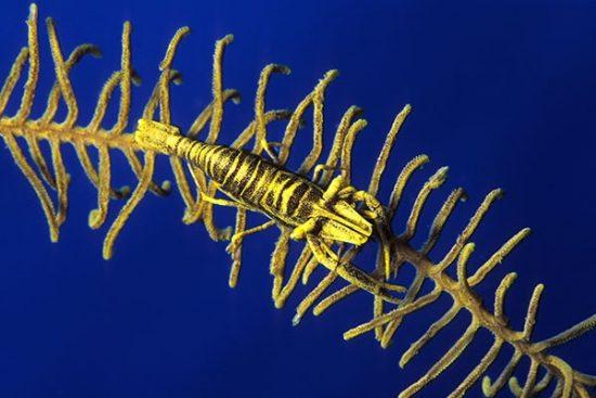 Crinoid's commensal shrimp, Periclimenes amboinensis, Walindi, West New Britain, Papua New Guinea, Pacific Ocean