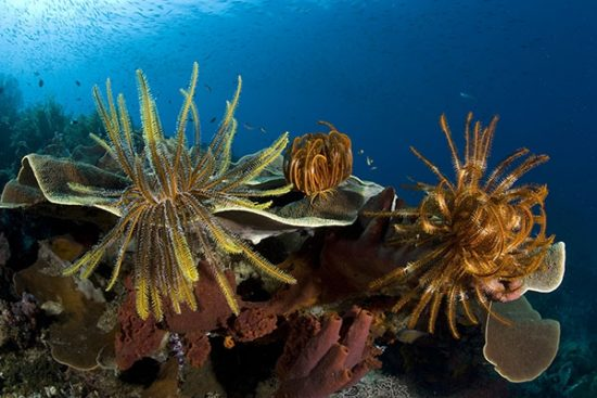 Crinoids or feather star on a hard coral, Raja Ampat, Irian Jaya, West Papua, Indonesia, Pacific Ocean