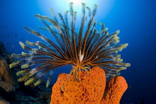 crinoid or feather star on a orange fan sponge, Phakellia flabellata, Paluma reef, Walindi, West New Britain, Papua New Guinea, Pacific Ocean