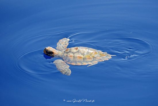 unechte Karettschildkröte im Meer