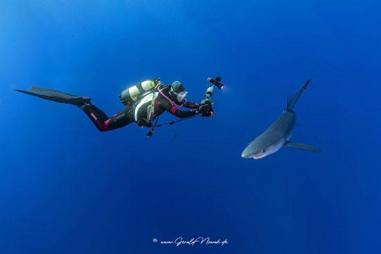 Taucher mit einem Blauhai im Freiwasser der Azoren