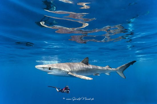 Europa; Portugal; Azoren; Atlantik; Ozean; Blauhai, Hai, Grundhai, Pelagischer Hai, Fisch | Europe; Portugal; Azores; ocean; Blue Shark, pelagic shark, fish | Carcharhinidae, Prionace glauca
