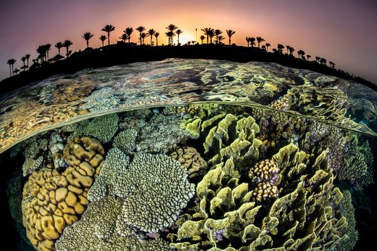 A split level photo of a coral reef with hard corals (Acropora sp., Millepora sp. and Pocillopora sp.) and the shore with palm trees, at sunset. Sharm El Sheikh, Sinai, Egypt. Red Sea