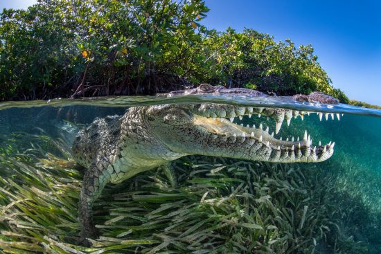 A split level photo of an American crocodile (Crocodylus acutus) beneath red mangrove trees (Rhizophora mangle) above a bed of seagrass (turtlegrass: Thalassia testudinum). Jardines de la Reina, Gardens of the Queen National Park, Cuba. Caribbean Sea.