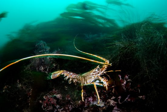A long exposure of a spiny lobster (crayfish: crawfish: Palinurus elephas) on a submerged reef. Falmouth, Cornwall, England, United Kingdom. English Channel, North East Atlantic Ocean.