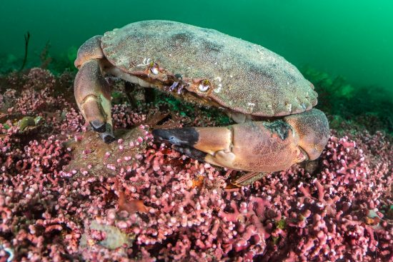 An edible crab (Cancer pagurus) forages on a maerl (Phymatolithon calcareum) bed. Falmouth, Cornwall, England, United Kingdom. Fal River Estuary, English Channel, North East Atlantic