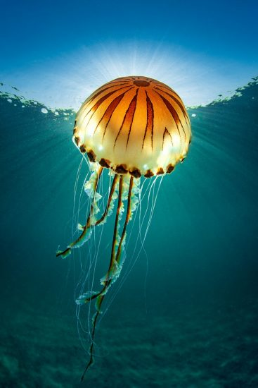 A compass jellyfish (Chrysaora hysoscella) with sunburst close to the surface. Talland Bay, Looe, Cornwall, England, United Kingdom. British Isles. English Channel, North East Atlantic Ocean.