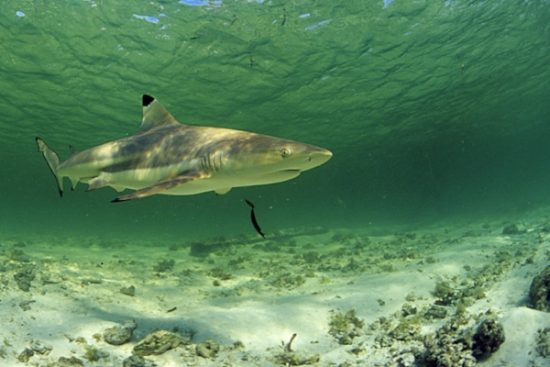 blacktip reef shark, Carcharhinus melanopterus, Aldabra Atoll, Natural World Heritage Site, Seychelles, Indian Ocean