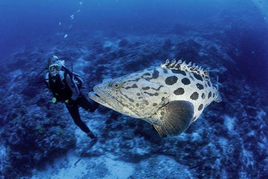 scuba diver and potato cod grouper, Epinephelus tukula, Aldabra Atoll, Natural World Heritage Site, Seychelles, Indian Ocean