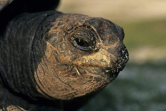 portrait of giant tortoise, Geochelone gigantea, Aldabra Atoll, Natural World Heritage Site, Seychelles, Indian Ocean